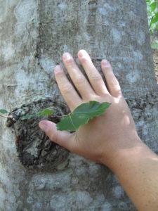 alberi val zoldana 015