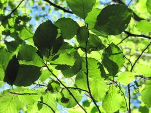 alberi val zoldana 029